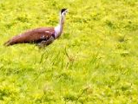 Week-long wildlife Census begins in Raj, focus on Great Indian Bustard