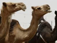 HC raises queries over camel slaughter in state