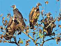United Nations sounds alarm over vultures