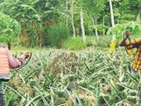 Concern over excess use of pesticides in pineapple farms