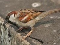 Telengana: Common sparrow is now a rare sight