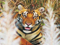 Five tiger deaths in first three weeks this year