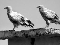 5 vulture species spotted at 1 spot in Bhavnagar