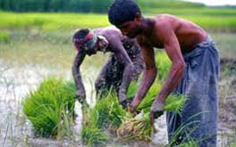 High yielding rice breed unveiled
