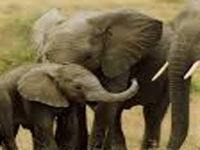 Extremism, elephant poaching linked, says study