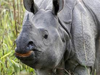 93 rhinos killed in Assam since 2001