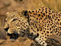 Pali villagers in Rajasthan embark on a mission to protect leopards