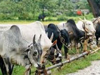 Frame national policy to stop rapid decline in population of indigenous cow breeds: NGT