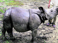 Rhino numbers rise in West Bengal