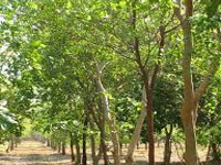 1.10 lakh sandalwood saplings to be planted in Vellore district