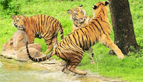 Global wild tiger population to be counted by 2016