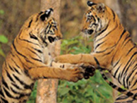 Kaziranga helps Northeast add 53 tigers