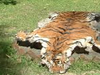 Study lists 73 districts as tiger poaching hotspots