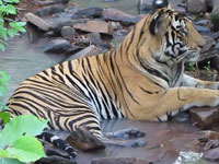 Project to increase wild tiger population in India, Bhutan
